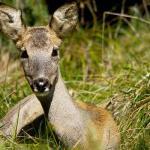Female roe deer (ph: Gianbattista (Tita) Rigoni Stern)
