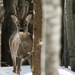 Roe deer (ph: Gianbattista (Tita) Rigoni Stern)