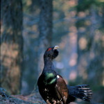 Grouse or capercaillie (ph: Roberto Costa)